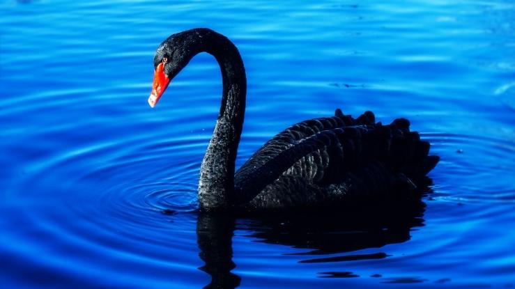swan-3869076_1920